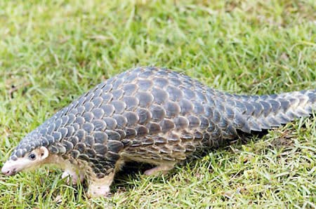 Can this animal finish In Nigeria and other African Countries?